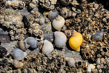Dog whelks (Nucella lapillus) with varied colours and patterning, exposed at low tide on barnacles. Rhossili, The Gower Peninsula, UK, July.
