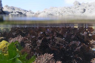 Split level view of Irish moss / Carrageen (Chondrus crispus) iridescing in a sunlit rockpool alongside Coralweed (Corallina officinalis) and Sea Lettuce / Green laver (Ulva lactuca). Rhossili, The Go...