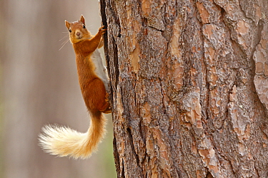 Red squirrel (Sciurus vulgaris) in summer coat on Scots pine tree trunk, Highlands, Scotland