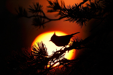 Crested tit (Lophophanes cristatus) at sunset silhouetted against setting sun. Cairngorms National Park, Highlands, Scotland, UK, October.
