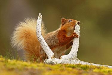 Red squirrel (Sciurus vulgaris) gnawing red deer antler for minerals, Cairngorms National Park, Highlands, Scotland, UK, June.