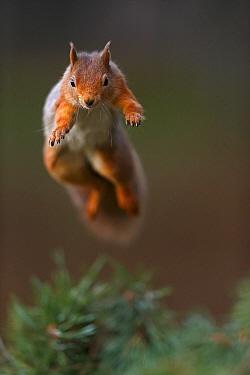 Red Squirrel (Sciurus vulgaris) in mid leap, the Cairngorms National Park, Highlands, Scotland, UK, November.