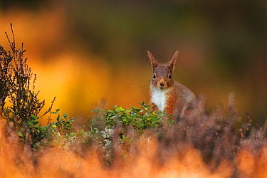 Red Squirrel (Sciurus vulgaris) foraging amongst heather as first light hits forest floor, Cairngorms National Park, Highlands, Scotland, UK, March.