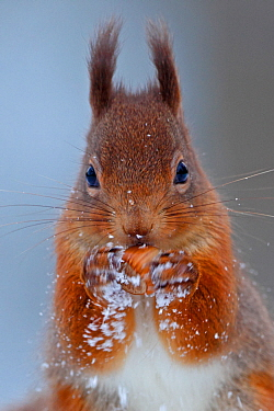 Red squirrel (Sciurus vulgaris) testing nut. Cairngorms National Park, Highlands, Scotland, UK, November.