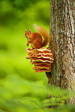 Red squirrel (Sciurus vulgaris) sitting on Chicken of the Woods fungus (Laetiporus), Cairngorms National Park, Highlands, Scotland, UK, June.