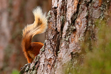 Red Squirrel (Sciurus vulgaris) disappearing behind tree,  tail visible, Cairngorms National Park, Highlands, Scotland, UK, August.