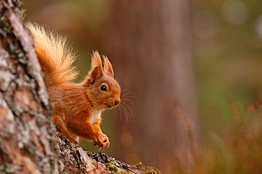 Red squirrel (Sciurus vulgaris)  in Scots pine forest, Cairngorms National Park, Highlands, Scotland, UK, April.