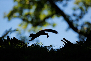 Silhouetted Red Squirrel (Sciurus vulgaris) jumping between tree stumps. Cairngorms National Park, Highlands, Scotland, UK, August.