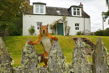 Curious Red Squirrel (Sciurus vulgaris) peering at camera from garden fence, Cairngorms National Park, Highlands, Scotland, UK, September 2016.
