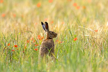 European hare (Lepus capensis), sitting in the grass, Lot, France
