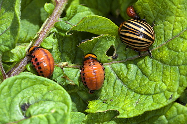 Colorado potato Beetle  (Leptinotarsa decemlineata) ,adult and larvae on leaves of potato plant, Lot, France
