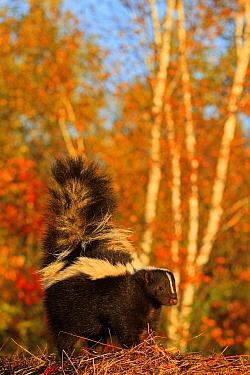 Striped skunk  (Mephitis mephitis) captive, USA, September.