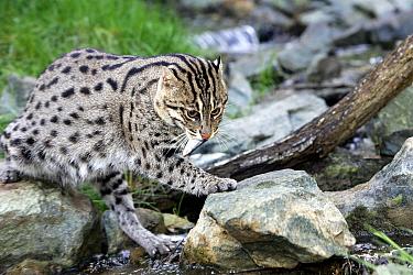 Fishing Cat (Prionailurus viverrinus), fishing. Captive at Zoo.