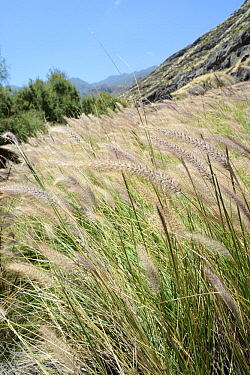 Dense stand of Cat tail / African Fountain grass (Pennisetum setaceum) an Ethiopian species invasive in the Canaries growing in the Tamadaba Natural Park, Gran Canaria UNESCO Biosphere Reserve, Gran C...
