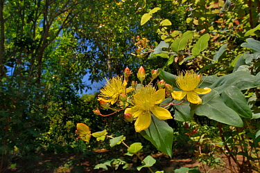Large-leaved St John's wort (Hypericum grandifolium), endemic to the Canaries and Madeira, flowering in montane Laurel forest / Laurissilva, Los Tilos de Moya, Doramas Rural Park, Gran Canaria, Canary...