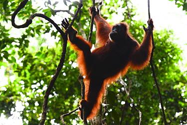Sumatran orangutan (Pongo abelii) female moving between lianas, Gunung Leuser National Park, UNESCO World Heritage site, November.