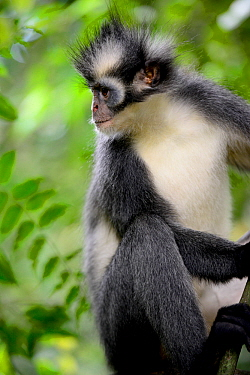 Thomas's Langur (Presbytis thomasi), animal endemic to northern Sumatra. These primates have relatively long arms and legs, adapted for an acrobatic life in the crowns of trees. Gunung Leuser National...