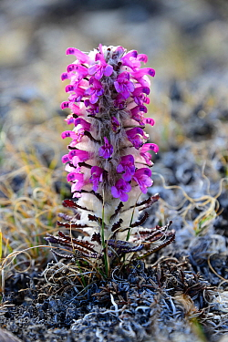 Woolly lousewort (Pedicularis lanata) flowering on tundra, Ellesmere Island, Nunavut, Canada, June 2012.
