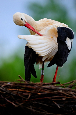 White stork (Ciconia ciconia), preening on nest Alsace, France, May