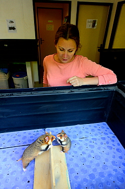 Celine Boulade, ethologist and keeper looking after a male and female Common hamster (Cricetus cricetus) as they interact during the breeding season, Association 'Sauvegarde Faune Sauvage d'Alsace' (P...