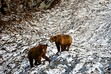 Two Grizzly bears (Ursus arctos horribilis) walking on a neve (granular compacted) snow, on a hot sunny spring day , Khutzeymateen Grizzly Bear Sanctuary, British Columbia, Canada, June.