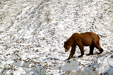 Grizzli bear (Ursus arctos horribilis) walking on a neve (granular compacted) snow, on a hot sunny spring day , Khutzeymateen Grizzly Bear Sanctuary, British Columbia, Canada, June.