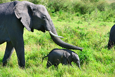 Female African elephant (Loxodonta africana) female touching her young calf with her trunk, Masai Mara National Reserve, Kenya, Africa.
