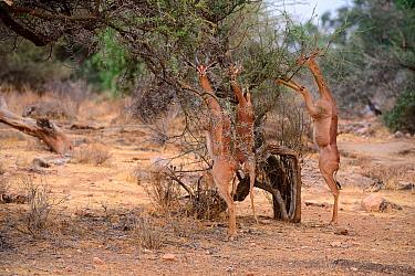 Gerenuk (Litocranius walleri) group with male and females standing on hind legs browsing on acacia trees, Samburu National Reserve, Kenya, Africa.