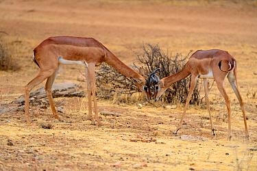 Male Gerenuks (Litocranius walleri) fighting, Samburu National Reserve, Kenya, Africa.