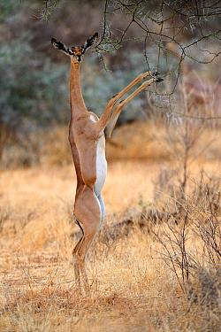 Female Gerenuk (Litocranius walleri) standing on hind legs browsing on acacia trees, Samburu National Reserve, Kenya, Africa.