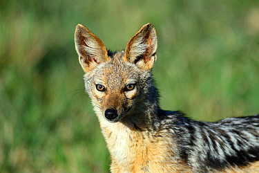 Black-backed jackal (Canis mesomelas) portrait, Nakuru National Park, Kenya, Africa.