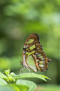 Malachite butterfly (Siproeta stelenes) captive in Butterfly House, Devon, UK