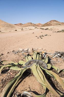 Welwitschia (Welwitschia mirabilis) Namib Desert, Namibia
