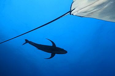 Black Jack (Caranx lugubris) near Giant Manta Ray (Manta birostris), tail,  IUCN Vulnerable, Socorro Island, Revillagigedo Archipelago Biosphere Reserve (Socorro Islands), Pacific Ocean, Western Mexico, March