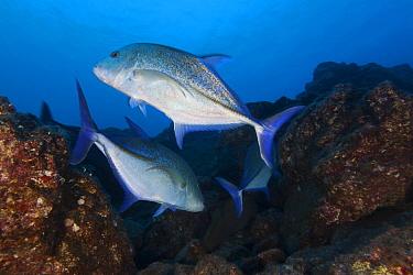 Bluefin Trevally (Caranx melampygus), San Benedicto Island, Revillagigedo Archipelago Biosphere Reserve (Socorro Islands), Pacific Ocean, Western Mexico, March