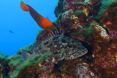 Flag Cabrilla (Epinephelus labriformis) and Clarion Angelfish (Holacanthus clarionensis), Clarion Angelfish IUCN Vulnerable, San Benedicto Island, Revillagigedo Archipelago Biosphere Reserve (Socorro...