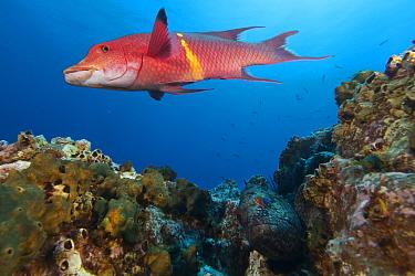 Mexican hogfish (Bodianus diplotaenia) and Flag cabrilla (Epinephelus labriformis), Socorro Island, Revillagigedo Archipelago Biosphere Reserve (Socorro Islands), Pacific Ocean, Western Mexico, March