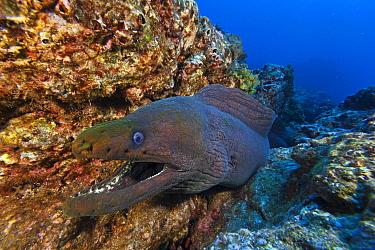 Panamic green moray (Gymnothorax castaneus), Socorro Island, Revillagigedo Archipelago Biosphere Reserve (Socorro Islands), Pacific Ocean, Western Mexico, March