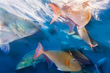 Bluefin trevally (Caranx melampygus) and Redtail triggerfish (Xanthichthys mento), San Benedicto Island, Revillagigedo Archipelago Biosphere Reserve (Socorro Islands), Pacific Ocean, Western Mexico, M...