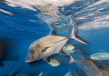 Black jack (Caranx lugubris), Green Jack (Caranx caballus) and Redtail triggerfish (Xanthichthys mento), San Benedicto Island, Revillagigedo Archipelago Biosphere Reserve (Socorro Islands), Pacific Oc...