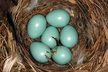 Common redstart (Phoenicurus phoenicurus) nest with six eggs, Alsace, France