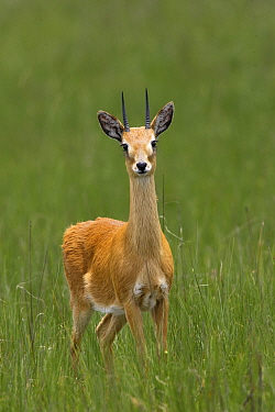Oribi (Ourebia ourebi montana),   Senkelle Swayne's Hartebeest Sanctuary, Ethiopia