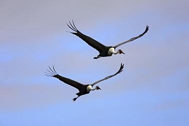 Wattled crane (Grus carunculatus) two in flight, Bangweuleu Marshes, Zambia
