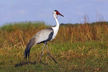Wattled crane (Grus carunculatus) in the Bangweuleu Marshes, Zambia