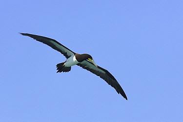 Brown booby (Sula leucogaster), in flight, Los Roques, Venezuela