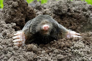 European mole (Talpa europaea) in a garden emerging of a molehill, Alsace, France