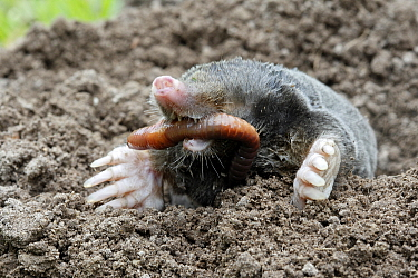 European mole (Talpa europaea) at surface of soil in garden, eating a worm, Alsace, France. Small repro only