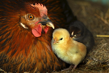 Domestic hen and her chick In the chicken coop, Alsace, France