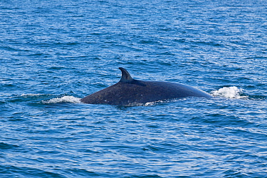 Bryde's whale (Balaenoptera edeni) breaks the surface of the sea showing its back and dorsal fin, Hauraki Gulf, Auckland, New Zealand, November.