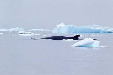 Antarctic minke whale (Balaenoptera bonaerensis) breaking the surface briefly to breath, Skonthorp Cove, Antarctic Peninsula, Antarctica, December.